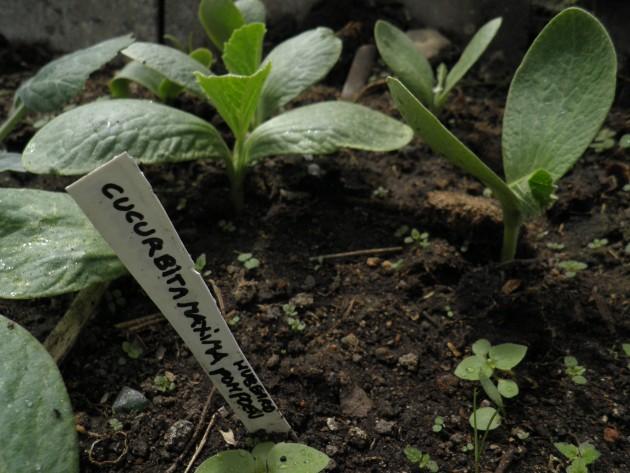 Hubbard pompoenplantje