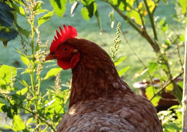 Kip in licht kijkt kl frm