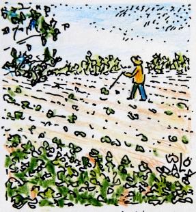 Aardappels in een penenveld